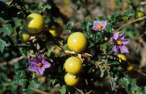 Solanum_linnaeanum3